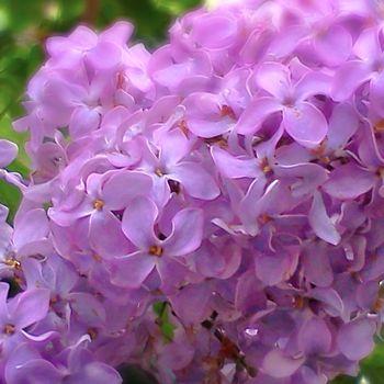 Extravagant Violet